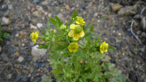 Celery-leaved Buttercup