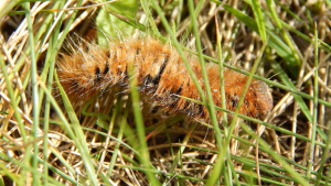 Oak Eggar Caterpillar