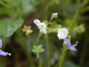 Wood Speedwell (White Flowers)