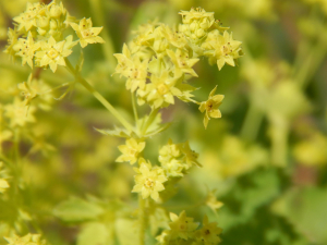 Garden Lady's-mantle