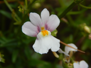 Toadflax like flowers