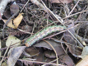 Pine hawk moth caterpillar