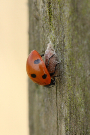 The parasite not the ladybird