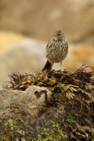 Which pipit?