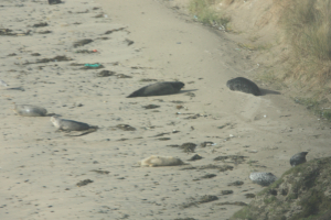 Beached Seals