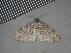 Dumb-bell bearing moth