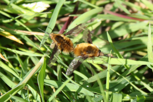 Bee fly push-me-pull-you