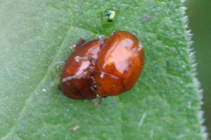 Small red-orange beetle