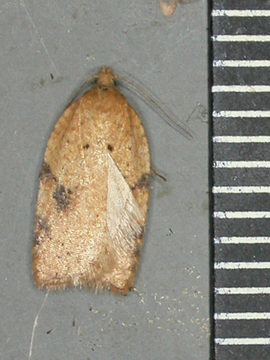 Which Acleris?