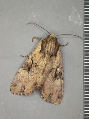 Well marked noctuid