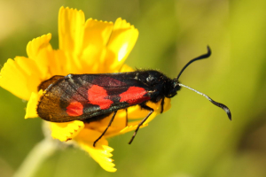 Three-spot Burnet