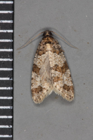Brown striped tortrix