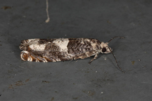 Pale patched tortrix