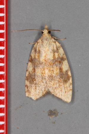 Netted tortrix