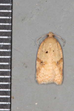 Triangle sided tortrix