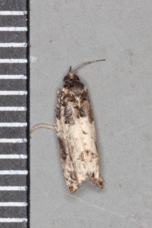 Cloaked tortrix