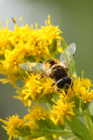 Yellow sided hover