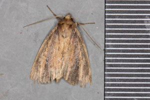 Wainscot, with a brown stripe