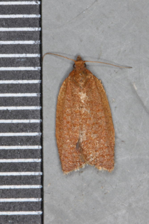 Red Tortrix