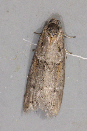 Common moth of this season