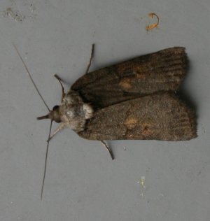 Variable Moth 2