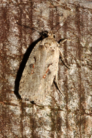 Which agonopterix