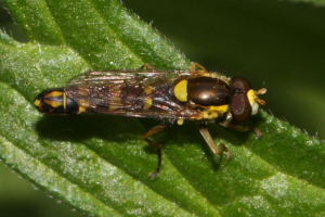 Resting Fly