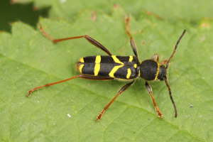 Wasp like beetle