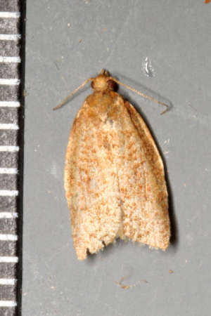 Brown tortrix