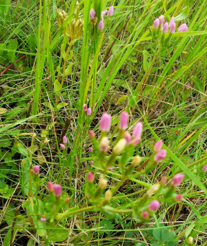 Low growing pink flowered plant on wasteground