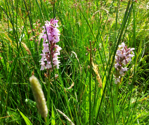 Orchid, Common Marsh NT