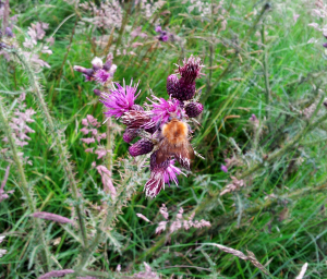 Bee on Marsh Thistle