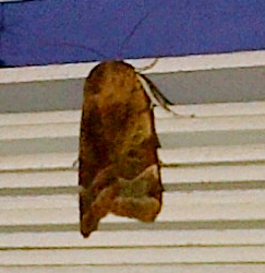 Large Moth Brixton
