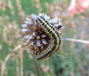 Toadflax Brocade caterpillar