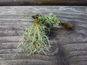 2 types of lichen on a small twig