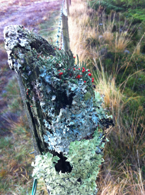 Blue Green Lichen with red 'flowers'