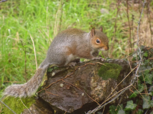 Observation #1! Grey squirrel