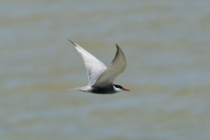 Which Tern?