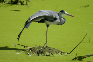 Grey Heron at Rye Meads RSPB