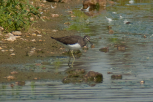 Green Sandpiper at Rye Meads RSPB
