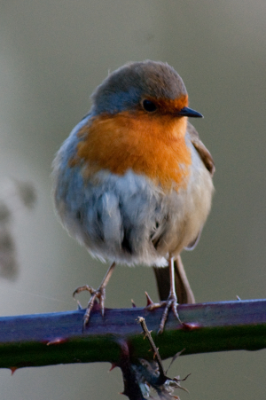 If only all birds posed as beautifully as Robins!