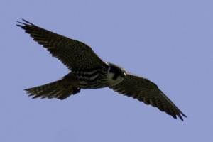 Hobby at Fen Drayton Lakes RSPB