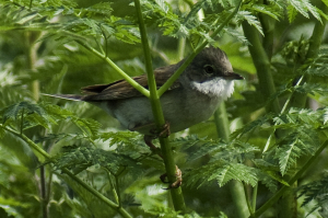 Whitethroat at Fen Drayton Lakes RSPB