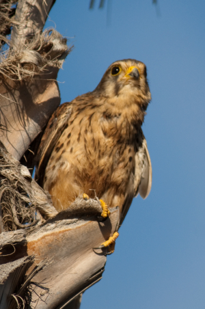Holiday Snap - Tenerife Kestrel
