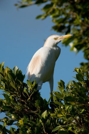 Holiday Snap - Cattle Egret