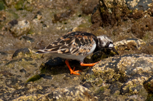 Turnstone Summer and Winter