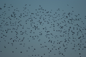Woodpigeon flock
