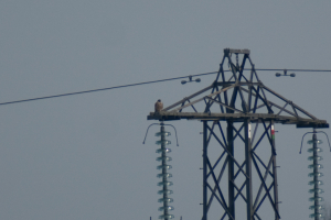 The Peregrine and the Pylon