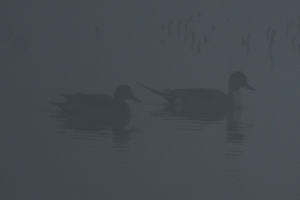 Pintail in the mist