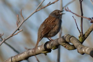 It's time to sing - Dunnock